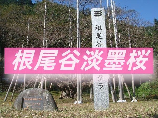 根尾谷淡墨桜ツーリングのアイキャッチ写真