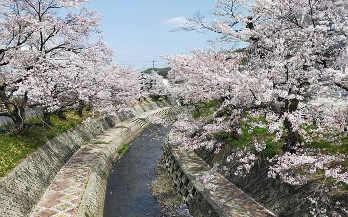 花見ツーリングスポット「関川の桜」