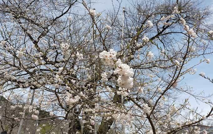 荘川桜の桜
